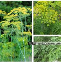 Anethum graveolens Flower seeds,1pcs/lot(30 seeds),Bonsai Seeds,Food seasoning