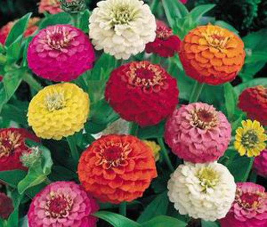Карликовое дерево Leean 100 LILIPUT Flower Seeds карликовое дерево flower seeds 100 multi butterfly