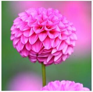 Promotion! 24 kinds 100pcs Dahlia seeds, Dahlia flower seeds, seed mixing(China (Mainland))