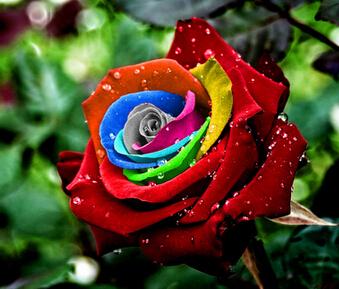 Mystic Rainbow Rose Bush Flower Seeds 200 Stratisfied Seeds Free Shipping(China (Mainland))