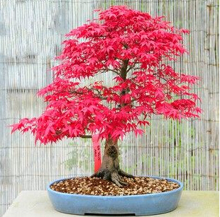 50 Mini Beautiful Japanese Red Maple Bonsai Seeds, DIY Bonsai * FRESH MAPLE SEEDS * Free shipping(China (Mainland))