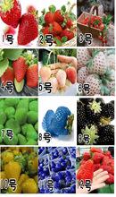O envio gratuito de 12 tipos de morango sementes mista épocas de semeadura 12 embalagens 1000 sementes(China (Mainland))