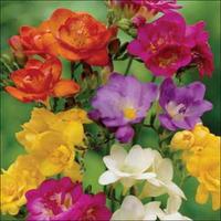 5pcs Freesia Hybrida (Freesia Hybrida Royal Champion Mix), a perennial aromatic plant varieties, planted flowers Free Shipping