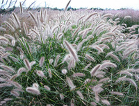 10 PCS Feathertop (Pennisetum villosum) perennial hairy Pennisetum, forested just like the clouds drought-tolerant Free Shipping
