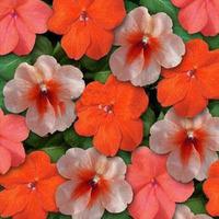 5 PCS Impatiens (Impatiens Walleriana Super Elfin XP Sedona Mix) elf series mixed color orange beautiful flowers Free Shipping