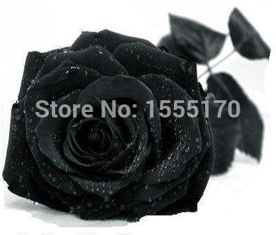 Free Shipping 50 Seeds China Rare Black Rose Flower(China (Mainland))