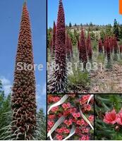 Flower seeds Roter Teide Natternkopf - Echium wildpretii - 20 Samen-seeds - Tower of Jewels Home & Garden(China (Mainland))