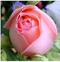 Imports rose flower seeds ,kinds colour