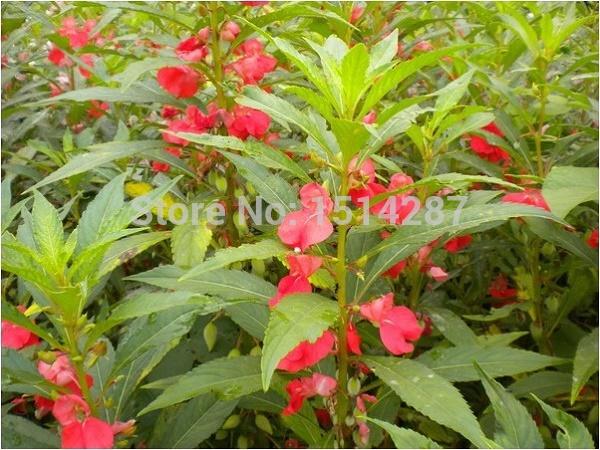 flores jardim perenes : flores jardim perenes:Aliexpress.com: Compre Bálsamo jardim sementes de flores perenes 60