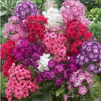 10pcs Phlox Mix Seeds (Phlox Drummondii Nana Compacta Beauty Mix), dwarf, fragrant smell Free Shipping