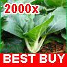 2000 Canton PAK CHOI Bok Choy Chinese Cabbage Seeds