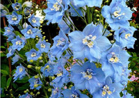 free shipping Smurfs delphinium, blue delphinium seeds, rocket consolida the budding rate 95% - 30 Seed particles