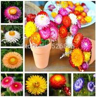 free shipping Helichrysum ,Helichrysum bracteatum seeds, strawflower Flowers seeds - 50 Seed particles