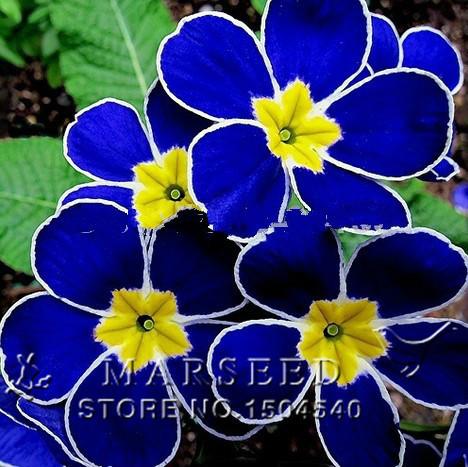 Livraison gratuite 100 pcs bleu graines d'onagre. Primula Malacoides fleurs graines. Chine Rare fleurs(China (Mainland))