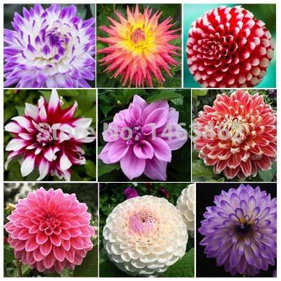 Euphorbia Plants And Flowers Ltd Seeds Bonsai Flower Plant