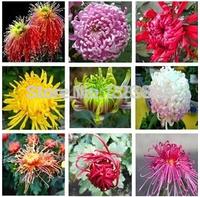 Flower seeds chrysanthemum seeds four seasons plant seeds - 50 pcs seeds