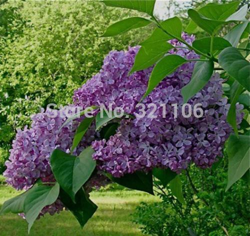 Карликовое дерево Flower Story 25 * карликовое дерево china seeds dionaea muscipula