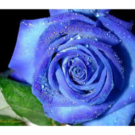 2015 Elegant Beautiful Royal Blue Color 40 Rose seeds per package flower seeds home for your lovely New Stock Free Shipping(China (Mainland))