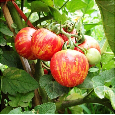 Popular tomato garden design from china best selling Tomato garden design