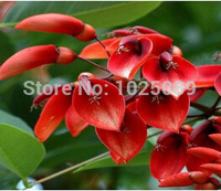50  pcs / bag,Erythrina  seeds, potted seed, flower seed, variety complete, the budding rate 95%, (Mixed colors)