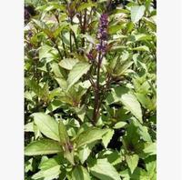 Anise basil seeds, Persia basil, vanilla seeds,20pcs