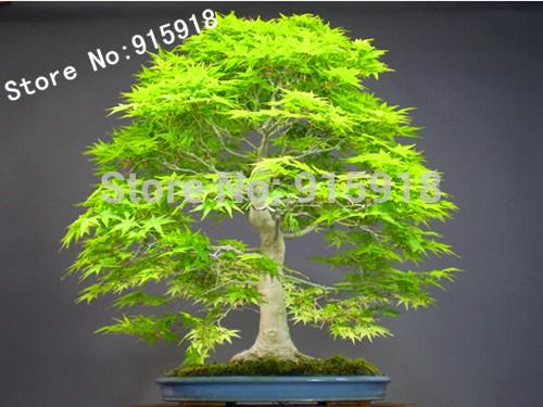 Bonsai seeds 50pcs Dawn Redwood Bonsai Tree Grove - Metasequoia glyptostroboides,DIY home gardening! Very easy to grow!(China (Mainland))
