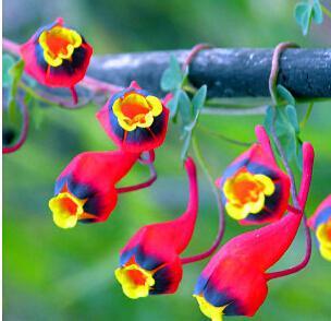 Карликовое дерево Flower seeds 2015 new.100pcs /, vegetable seeds карликовое дерево fruit seeds 12