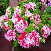free shipping Flower bonsai seeds flower plant bonsai indoor petunia petals flower seeds bonsai balcony -220 pcs