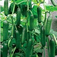 Dutch Cucumber Hot selling 35pcs fruit cucumber seeds,Cuke Seeds, Green vegetable Seeds