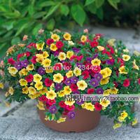 Free shipping Petunia seeds shuttlecock flower horn sweet potato flower bonsai flowers seeds - 220pcs