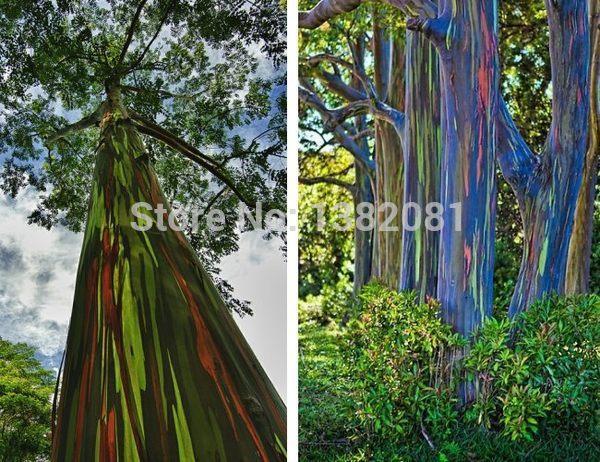 online kaufen gro handel rainbow eucalyptus seeds aus. Black Bedroom Furniture Sets. Home Design Ideas