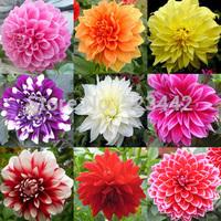 Type ordinally yukako dahlia bulbs seeds bonsai flowers - 250 pcs seeds
