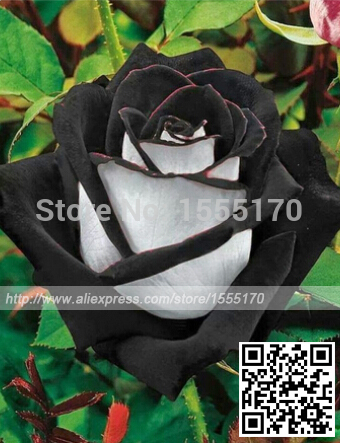 Free Shipping 200 Seeds China Rare Black+White Rose Flower seeds(China (Mainland))