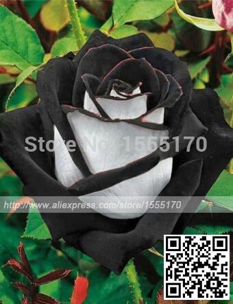 Free Shipping 200 Seeds China Rare Black+White Rose Flower seeds(China (Mainland))