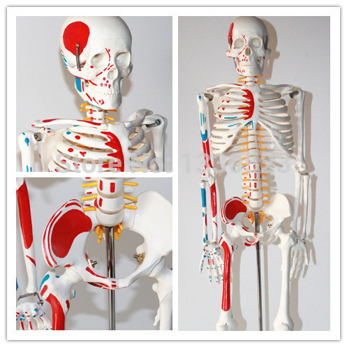 85 cm load-point human body skeleton model with muscle(China (Mainland))