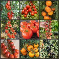 900+ Fresh Tomato Seeds (9 Kinds for your choice) organic fruit vegetables seeds * Free Shipping