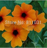 20 BLACK EYED SUSAN VINE Thunbergia Alata Flower Seeds~easy to grow bonsai plant free shipping(China (Mainland))