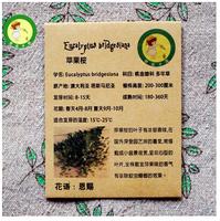 Apple eucalyptus seeds Gang Ni Eucalyptus Eucalyptus bridgesiana aromatic gnats pot seeds - 10 particles/bag