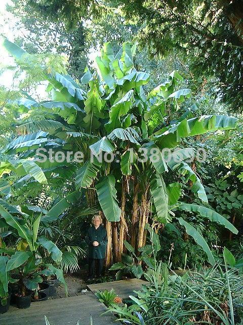 Planta de banano de interior compra lotes baratos de for Banano de jardin