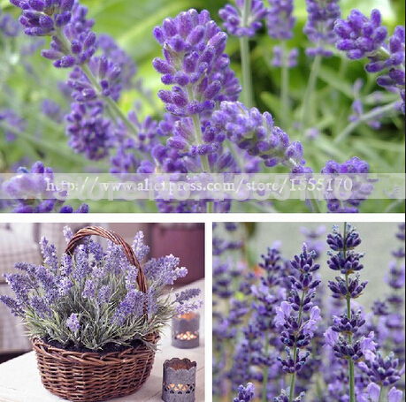 100 more meat lavender lavender flower seeds sown seeds seasons seeds potted plants Package free shipping(China (Mainland))