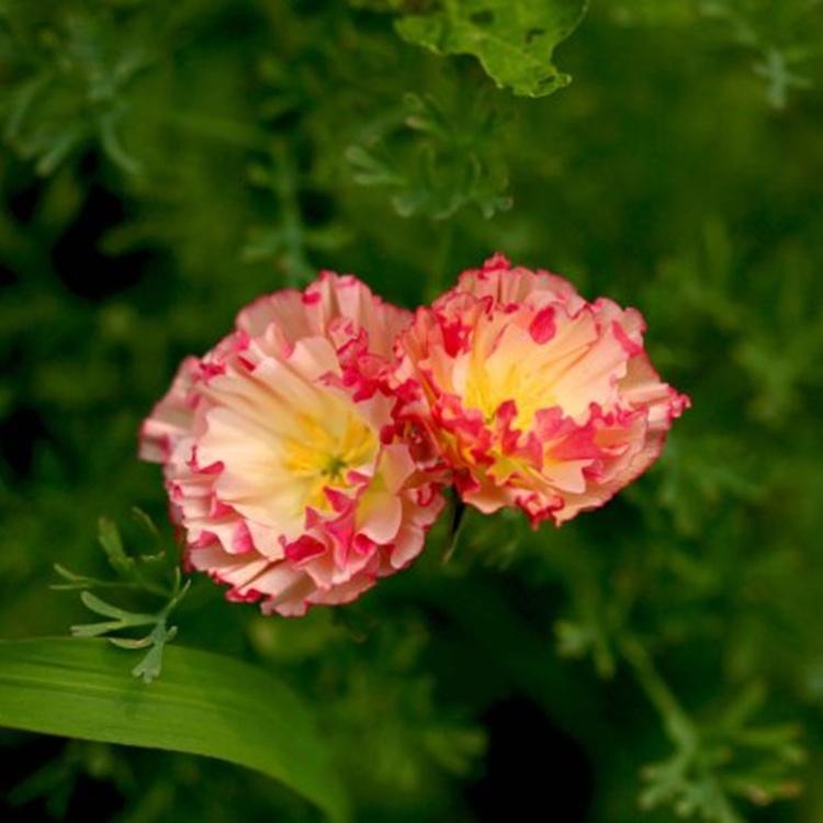 flores jardim perenes : flores jardim perenes: flores-para-jardim-Bonsai-flores-sementes-raras-perenes-Super-fácil