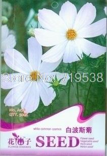 Bai Bosi Chrysanthemum flower seeds seed broom meidabosi British Autumn Chrysanthemum Gerbera 50Seeds/Lot(China (Mainland))