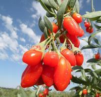 2014Yr 100% Original 250g wolfberry Top Grade Newest Chinese goji berries goji berry goji Herbal Tea medlar Free Shipping