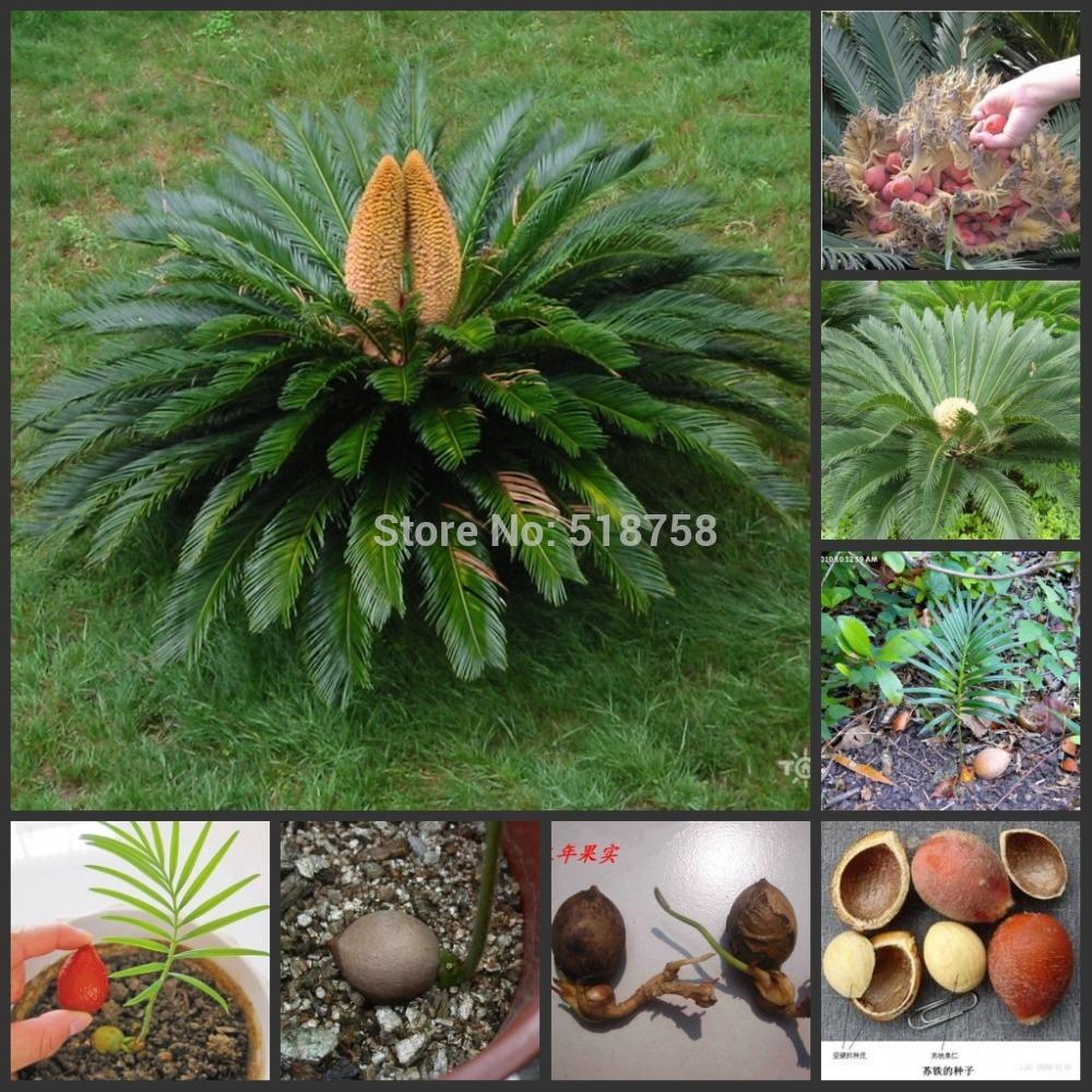 Cycas Revoluta Price Cycas Revoluta Plant Price