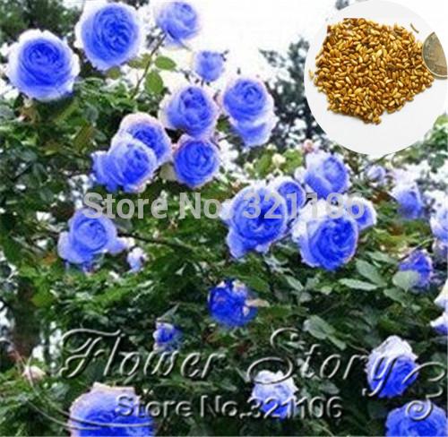 200pcs/lot.Rosa,Climbing Plants , Polyantha rose, Chinese Flower Seeds ,Climbing Roses Seeds.(China (Mainland))