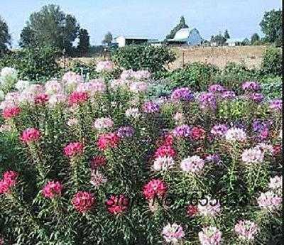 Hummingbird Flower Mix Flower 50 Seeds Mixed