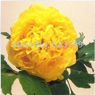6 kind Flower pots planters 15 pcs Peony Flower Seeds Blue Green White Black Pink Red Purple Yellow Special China Peony Seeds 23(China (Mainland))