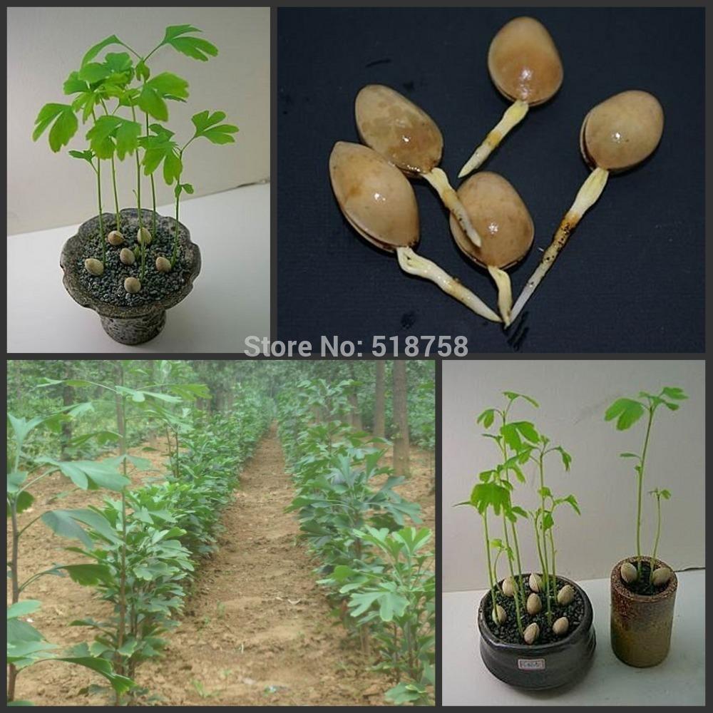 Выращивание гинкго билоба из семян 14