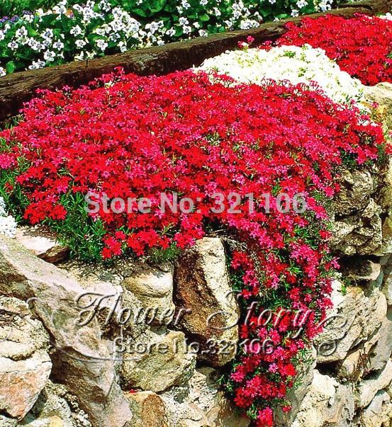 Карликовое дерево FLOWERSTORY 50