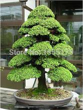 SACRED JAPANESE CEDAR – 20 PCS Semillas bonsai seeds